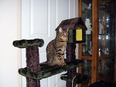 Bengal cat on a Cat tree
